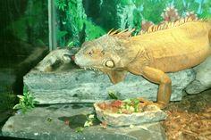 My Red Iguana Charmander