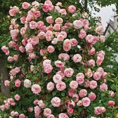 These climbing pink roses...make me think of my mom...she had some outside of our home!!!Gosh I miss her!!! :(