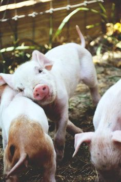 Three little pigs! Three little pigs! Cute Creatures, Beautiful Creatures, Animals Beautiful, Beautiful Babies, Cute Baby Animals, Farm Animals, Baby Pigs, Baby Goats, Baby Lamb