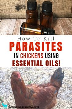 Raising Chickens Ideas, Chickens On The Homestead, Backyard Chickens, Parasites In Chickens, Essential Oils For Chickens, Essential Oil Recipes