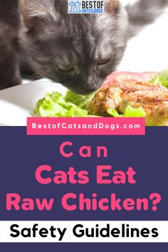 Can Cats Eat Raw Chicken? Cats Are Strict Carnivores In Their Natural Habitats, Meaning That They Can Eat Raw Meat. Therefore, It Is Safe For Cats To Eat Fresh Raw Chicken. Never Feed Your Cat Cooked Bones As...Read More Here! #RawCatFood #CatFood #BestCatFood #DriedCatFood #Cats Funny Cute Cats, Silly Cats, Cute Cat Gif, Baby Kittens, Cats And Kittens, Talking Cat Video, Eating Raw Chicken, Chicken Cat, Best Cat Gifs