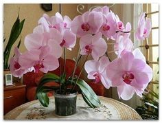 Наверняка многим знакома такая картина: купленная в цветочном магазине орхидея цветет буйно, растение выглядит здоровым, но после завершения цветения начинает чахнуть с каждым днем. Очевидно, что ц…