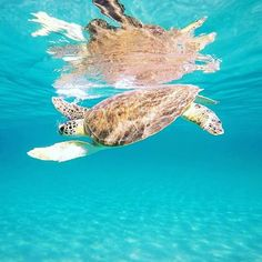 How chill is this guy? 🐢💙 #gowiththeflow #seaturtle