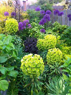 euphorbia and purple alliums