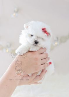 Beautiful puppy by TeaCupsPuppies.com #maltipom #maltese #pomeranian #puppy #puppies #teacuppuppies #puppyboutique
