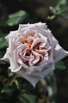 ~Hybrid Tea Rose 'Latte Art'