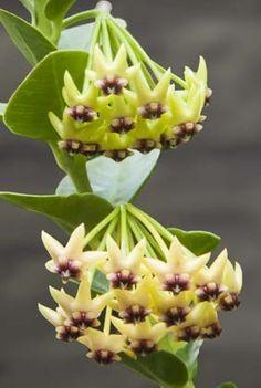 Bush Hoya (Hoya cumingiana) smells like spice cake!