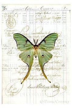 Luna moth on ledger paper by jessie                              …