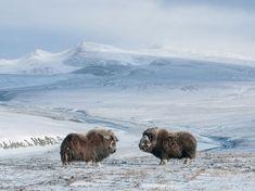 Muskoxen, Wrangel Island