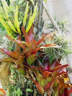 Bromeliads in Peter Brady's garden, Auckland by tanetahi, via Flickr