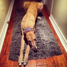 A grey will always, always, be ready to play.   30 Reasons Greyhounds Are Gentle Giants And You Should Adopt One