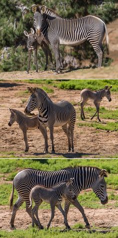 2 Grevy's #Zebra Foals Born at the San Diego Zoo Safari Park Add to Endangered Population