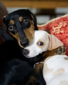 doxie huggs