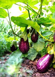palo alto barcelona kitchen garden eggplant via Gardenista