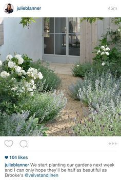 gray, green and white garden. Lavender, iceberg roses and catmint.