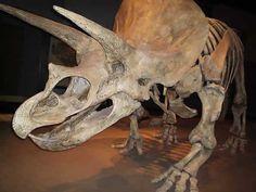 Triceratops horridus. American Museum of Natural History
