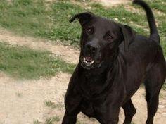 Adoption Moyen chien Adulte - Assistance aux Animaux - Refuge de Carros - Alpes-Maritimes - Labrador - SecondeChance.org