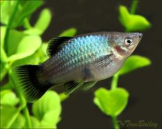 Metallic Blue Wag Platy