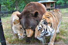 Leo the lion, Baloo the bear and Shere Khan the tiger.  at Noah's Ark Animal Sanctuary.  I love them so much.  #BLT