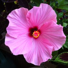 First Hibiscus of the season