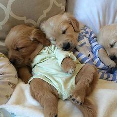 Golden Retriever puppy in pjs via @KaufmannsPuppy