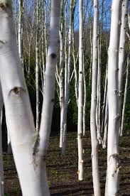 group of small silver birch trees - Google Search