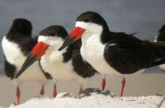 """Black skimmers in Florida - photo from floridiannature;  """"Black skimmers 'skim' the surface of the water with black-tipped bright red bills. The lower half of the bill is longer than the upper, allowing it to cut through the water and dip down to grab small fish encountered near the surface. Adult plumage is black above, white below."""""""