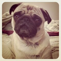 The Pugs of Instagram