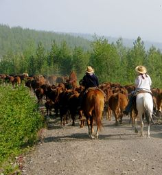 Moving Cattle at the Chezacut  http://www.chezacutwildernessadventures.com/