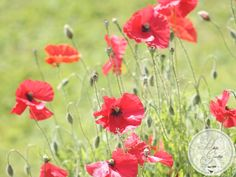 As Long as There are Poppies . Cluster, Red Poppies, Pure Products, Garden, Plants, Poppies, Summer Recipes, Nature, Lawn And Garden