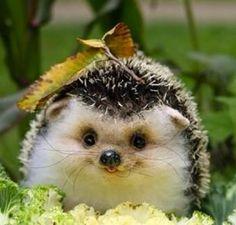 Baby hedgehog!!