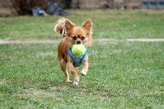 Chihuahua retriever.