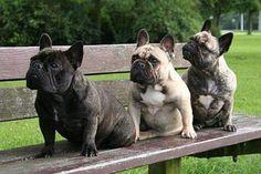 So cute... ...French Bulldogs