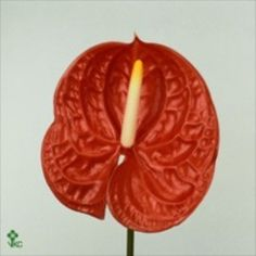 Anthurium Carnaval are an orange variety with a cream & yellow stamen. 12 stems per box = medium to large flower heads.