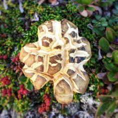 Kuvioitunut sieni
