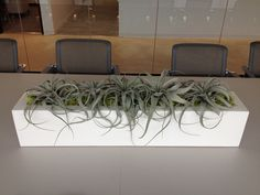 Conference Table Comes to Life with an Arrangement of Air-Plants and Reindeer Moss #office #interiorscapes #conference #airplants #Austin  www.texastropicalplants.com