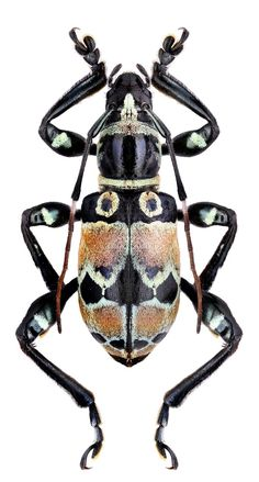 Another beautiful - It looks painted. Beetle Insect, Beetle Bug, Insect Art, Reptiles, Cool Insects, Bugs And Insects, Longhorn Beetle, Cool Bugs, A Bug's Life