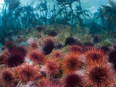 red sea urchins carpet a kelp forest off British Columbia. The marine invertebrates are important links in the marine food chain. Fish pick at the urchins, which feed on bits of algae.