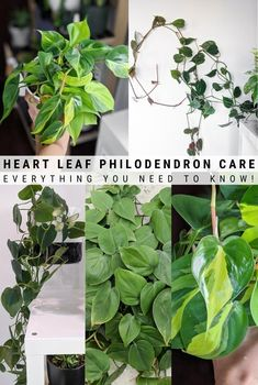This post shares my heart leaf philodendron care tips, including how to care for Brasil philodendron and how to propagate philodendron! Greenhouse Growing, Greenhouse Gardening, Different Plants, Types Of Plants, Air Layering, Easy House Plants, Pothos Plant, Prickly Pear Cactus, Fiddle Leaf