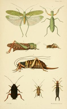 An elementary manual of New Zealand entomology- London,West, Newman & Co.,1892..