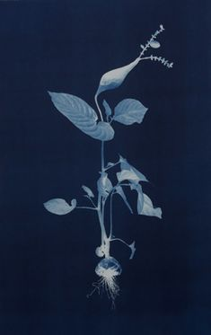 nicola murray cyanotypes - Google Search