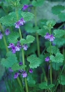 Henbit: Top of the pecking order | Eat The Weeds and other things, too (Seen abundantly in central Florida March 2016.)