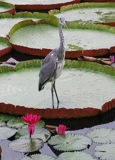 Heron on a Giant Lily Pad