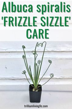 Learn Albuca spiralis 'Frizzle Sizzle'® care. These rare and unique succulents make great indoor plants. Our care tips will give you all the information you need to properly grow Albuca spiralis 'Frizzle Sizzle'® as houseplants and enjoy their fragrant flowers year-after-year.