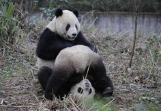 The way #Panda plays