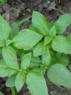 Basil Syrup - Medicinally, Basil is antibacterial, antidepressant, anti-inflammatory, antioxidant, antiseptic, antispasmodic, antiviral, carminative, a circulatory stimulant, diaphoretic, digestive, emmenagogue, expectorant, febrifuge, galactagogue, nervine and sedative.    --   I'm going to have to look some of this up!   >   I have basil oil and it helped with muscle cramps in my neck. Great stuff!