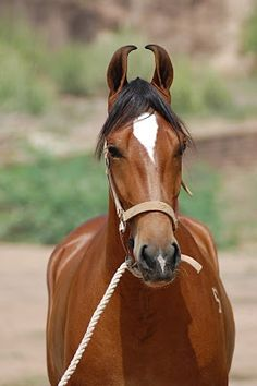 A bay Marwari (a rare breed from the Marwar, or Jodhpur, region of India, known for its inward-turning ear tips). Rare Horses, Wild Horses, Campolina, Rare Horse Breeds, Marwari Horses, Breyer Horses, Most Beautiful Animals, All The Pretty Horses, Horse Pictures
