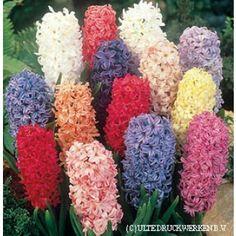 Hyacinth Bulbs Mix, Hyacinthus orientalis - Hyacinth Bulbs from American Meadows