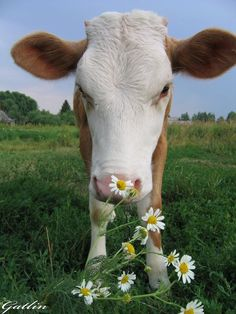 I want to live on a farm with cute daisies and cute cows! I love cows and daisy's! Cute Baby Cow, Baby Cows, Cute Cows, Cute Baby Animals, Baby Elephants, Lil Baby, Wild Animals, Cute Animal Photos, Animal Pictures