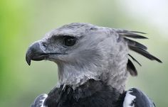 Meet the Harpy Eagle.